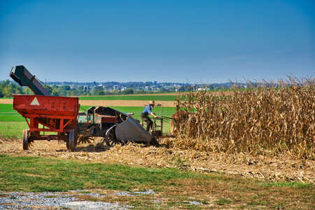 Intercourse, Pennsylvania, October 2019 - Amish farmer harvesting is corn with a team of horses pulling a gas engine powered harvester on a sunny day