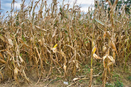 A dried cornfield with brown leaves