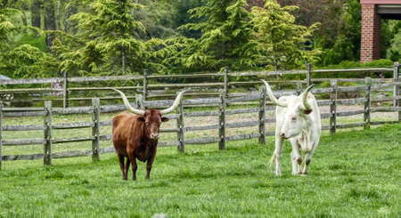 Two Long Horn Cattle in a Field Grazing on a Spring Day