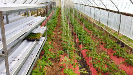 Poor Man's Green House with New Tomato Plants Growing
