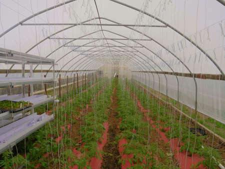 Poor Mans Green House with New Tomato Plants Growing