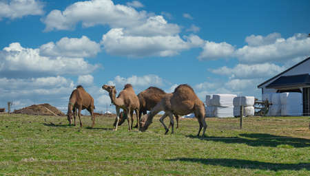 Herd of Camels seen in Dutch Pennsylvania on a Amish Farm on a Sunny Spring Day