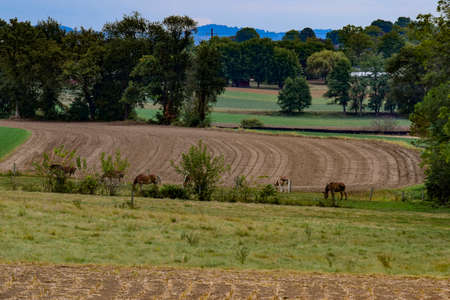 Horses Grazing in a Meadow With a Harvested Field in the Background Archivio Fotografico