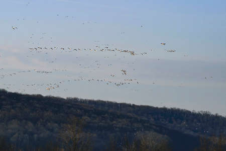 Migration of Wild Geese in Early Spring at Sunrise on a Partly Sunny Day Archivio Fotografico