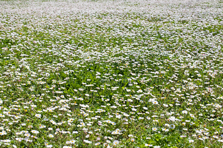 camomile: camomile oxeye daisy meadow background Stock Photo