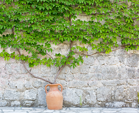 Wild grapes on the natural stone wall. photo