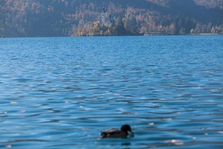 karavanke: Ducks on lake Bled, Slovenia