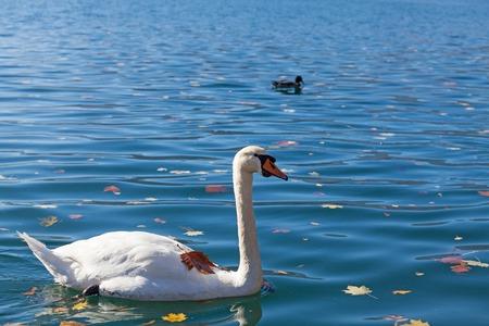 karavanke: Slovenia, white swan on lake Bled
