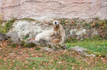 polar life: Polar bear in Nuremberg zoo (Ursus maritimus).