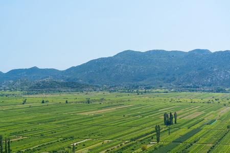 big ball: Vineyard in Croatia at the Adriatic coast, summer.