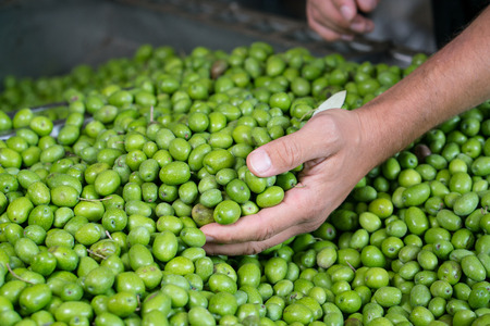 olive green: Fresh Harvested Green Olive for olive oil production Stock Photo