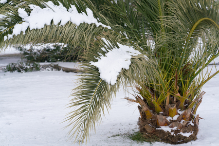 Leavs of palm trees covered with snow Stock Photo