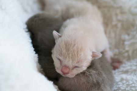 two newborn kittens Burmese breed on the fur litter Banco de Imagens