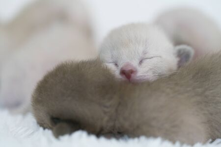 beige and brown burmese kittens of weekly age Archivio Fotografico - 137863359
