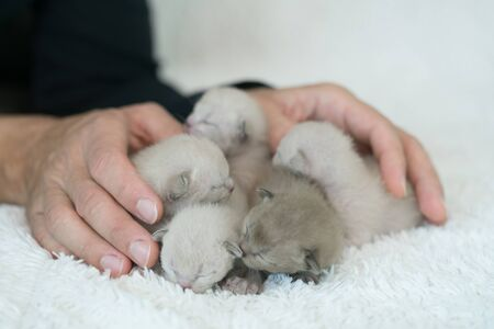 five burmese kittens weekly age and male hands Archivio Fotografico - 137863366