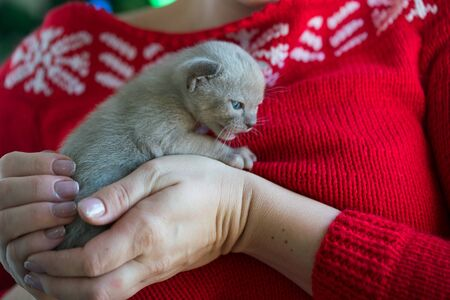 beige burmese kitten on hands on a background of the Christmas tree Archivio Fotografico - 137863426