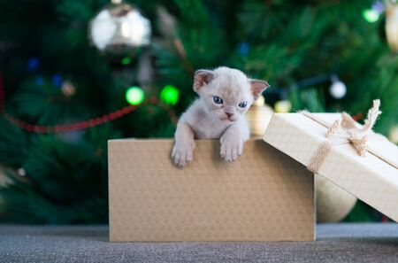 beige burmese kitten crawls out of a gift box standing near a Christmas tree Archivio Fotografico - 137863434