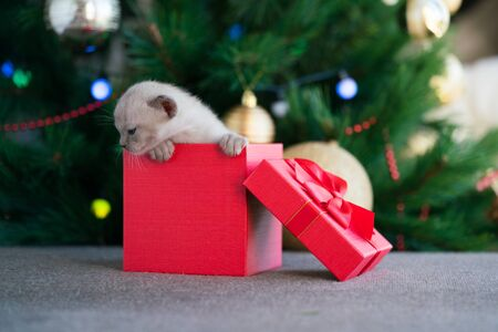 beige burmese kitten crawls out of a gift box standing near a Christmas tree Archivio Fotografico - 137863439