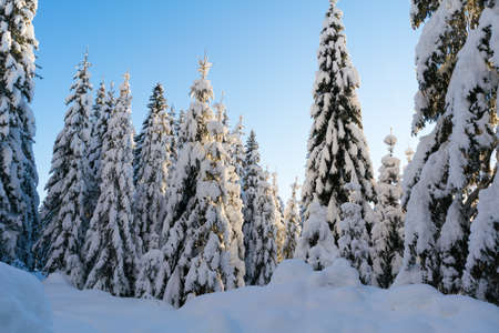 Spruce coniferous forest covered with snow in winter