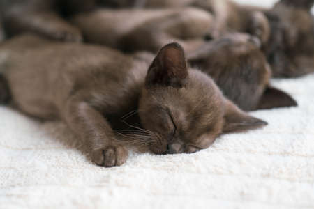 burmese kittens sleep sweetly on the couch Banque d'images
