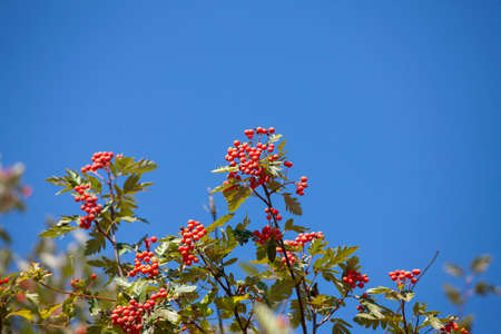 Hawthorn with fruits and leaves against the blue sky. Close-up Stock Photo
