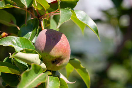 Organic Pears. Juicy flavorful pears of nature background. Pear on a branch. A pear on a tree Selective focus on pears.