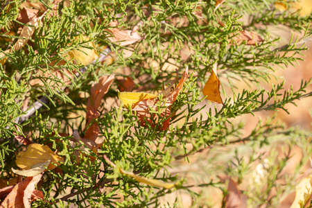 Autumn spruce branches with yellow fallen leaves. Shallow depth of field.