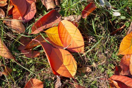 Colourful autumn leaves. Autumn leaves on the branches. Close-up. 스톡 콘텐츠