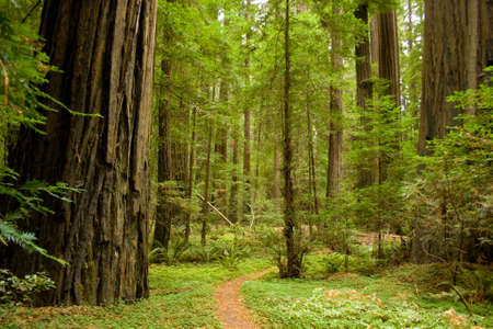 Pad via de redwood forest. Stockfoto