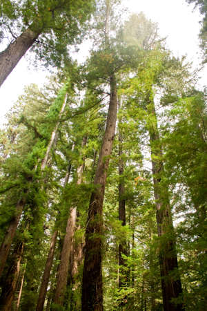 A curved California redwood tree.