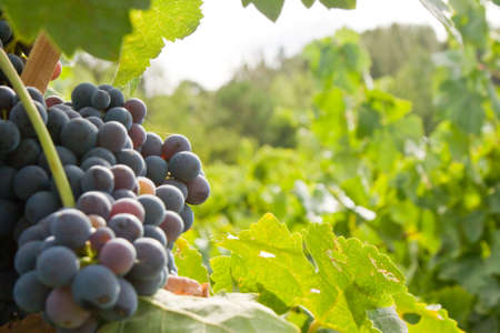 growers: Red grapes in Californias Napa Valley. Stock Photo