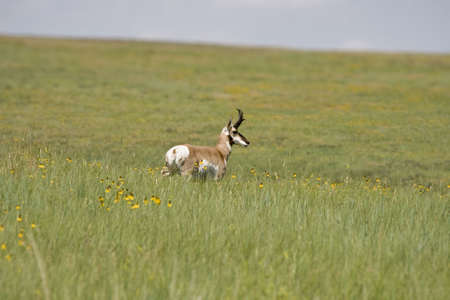 Een antelope in een veld in Custer State Park South Dakota.  Stockfoto