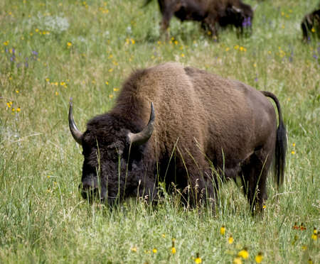 A buffalo as Custer State Park in South Dakota.