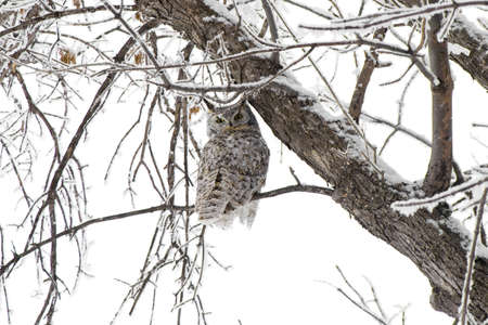 virginianus: A Great Horned Owl in northern North Dakota.