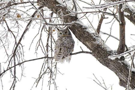 horned: Un b�ho cornudo de gran en Norte de Dakota del Norte.