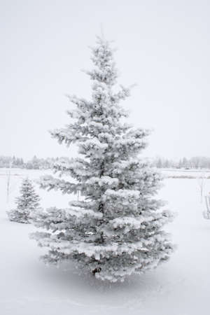 Snow laden evergreen tree in snowy field.