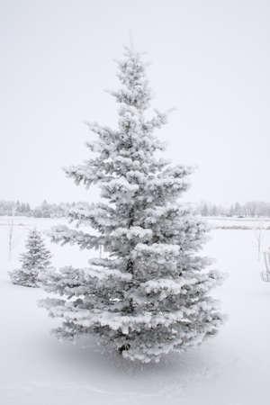 Snow laden evergreen tree in snowy field.