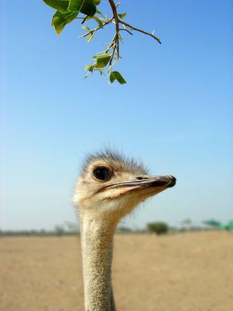 curiousness: ostrich