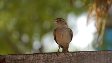 Beautiful indian house sparrow sitting on tree branch.