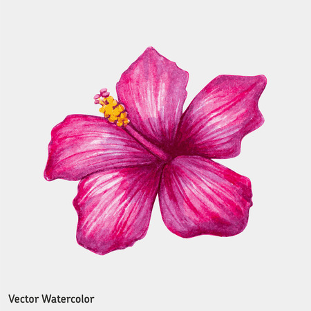 fuschia: Watercolor pink hibiscus flower. Vector illustration. Illustration
