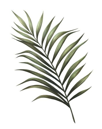 Palm leaf illustration isolated on white background, Hand drawn watercolor palm tree leaf painting.