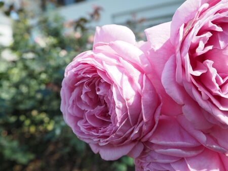 annealed: Pink rose background