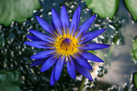 watergarden: blue lotus blossoms or water lily flower