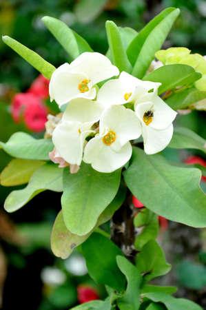 Close up of Euphorbia Milii flowers 版權商用圖片