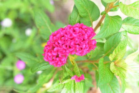 Celosia cristata Stock Photo