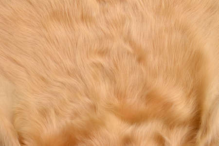 cow hide: Texture of skin of cow using as background