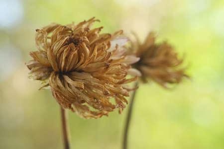 fading: Fading Autumn Flowers Stock Photo