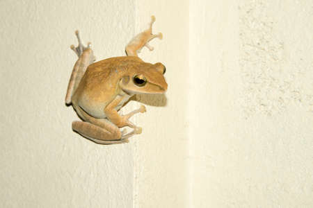 Close up of Asian natural Common tree frog or Golden tree frog (Polypedates leucomystax) climbing on  wall