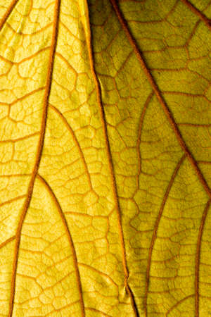 macro: Yellow leaf macro background
