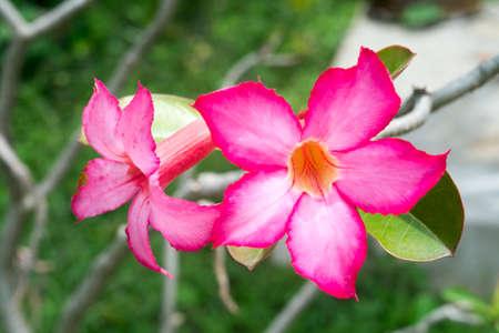 Beautiful floral background Tropical flower Pink Adenium Desert Rose